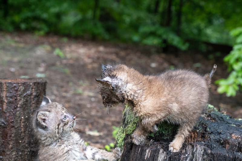 Two baby bobcats in woods on stump