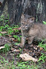 Bobcat alert looking for other bobcat
