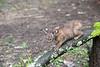 Bobcat climbing on limb