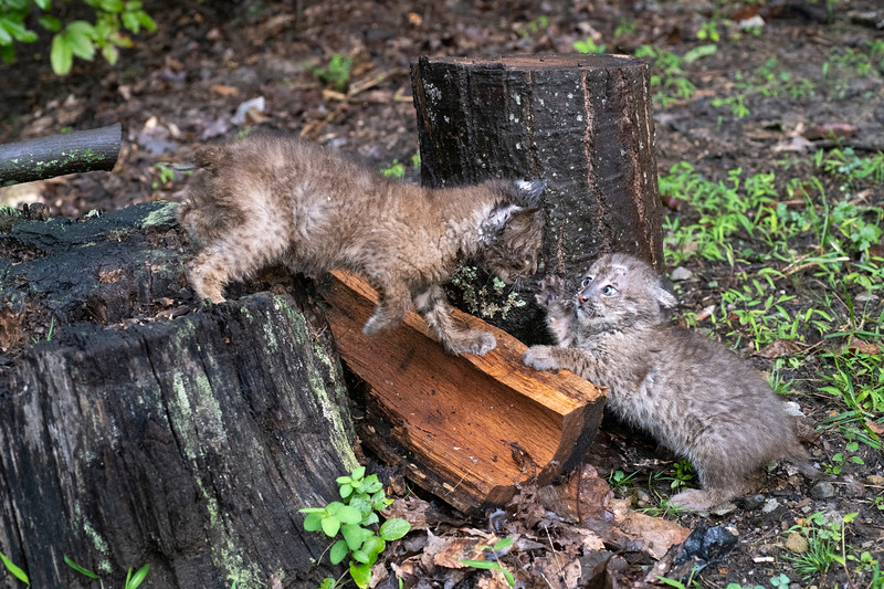 Baby bobcats play fighting