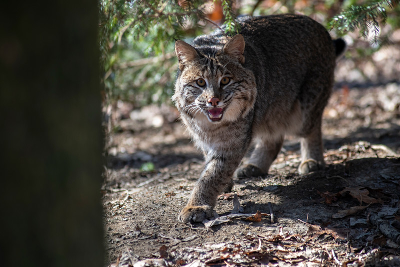 Bobcat walking under the tree limbs