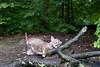 Bobcat balanced on limb of tree