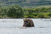 "Mother brown bear catching salmon.................................to purchase - <a href=""http://bit.ly/1preYsd"">http://bit.ly/1preYsd</a>"