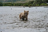"Baby brown bear cub walking upstream..................................to purchase - <a href=""http://bit.ly/ZIzZJS"">http://bit.ly/ZIzZJS</a>"