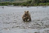 "Baby brown bear cub looking at fish in water...............................to purchase - <a href=""http://bit.ly/1xaFKOq"">http://bit.ly/1xaFKOq</a>"