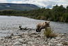 "Brown bear cub walking on shore......................to purchase - <a href=""http://bit.ly/1rmzcIT"">http://bit.ly/1rmzcIT</a>"