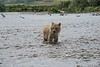 "Baby brown bear cub lookiing around while standing in water........................to purchase - <a href=""http://bit.ly/ZIzQpI"">http://bit.ly/ZIzQpI</a>"