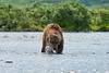 "mother brown bear with salmnon she caught................................to purchase - <a href=""http://bit.ly/Z67MMJ"">http://bit.ly/Z67MMJ</a>"