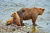"mother brown bear and cubs resting on shore.........................to purchase - <a href=""http://bit.ly/1uibjCh"">http://bit.ly/1uibjCh</a>"