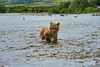 "brown bear cub following cub........................to purchase - <a href=""http://bit.ly/1uhLNNt"">http://bit.ly/1uhLNNt</a>"