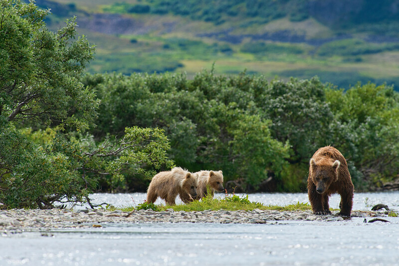 "two brown bear cubs and mother..................to purchase - <a href=""http://bit.ly/1trCwEw"">http://bit.ly/1trCwEw</a>"