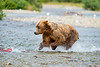 "brown bear chasing salmon.....................................to purchase - <a href=""http://bit.ly/W7Y36L"">http://bit.ly/W7Y36L</a>"