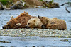 "Mother Brown bear and two cubs resting after chasing salmon..............................to purchase - <a href=""http://bit.ly/1t8WemH"">http://bit.ly/1t8WemH</a>"