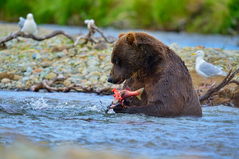 Big brown bear eating salmon in stream