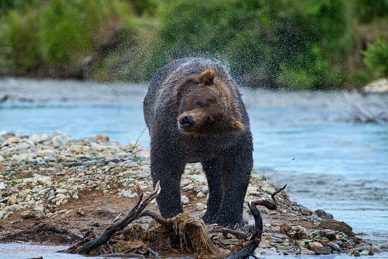 "brown bear shaking water off.................................to purchase - <a href=""http://bit.ly/1yvBvZV"">http://bit.ly/1yvBvZV</a>"