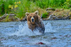 """in pursuit of the salmon.....................................to purchase - <a href=""""http://bit.ly/1oBbP8B"""">http://bit.ly/1oBbP8B</a>"""