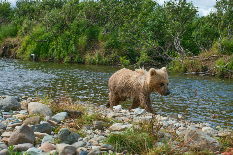 "brown bear cub on bank following mother upstream......................................to purchase - <a href=""http://bit.ly/1oB1tFI"">http://bit.ly/1oB1tFI</a>"