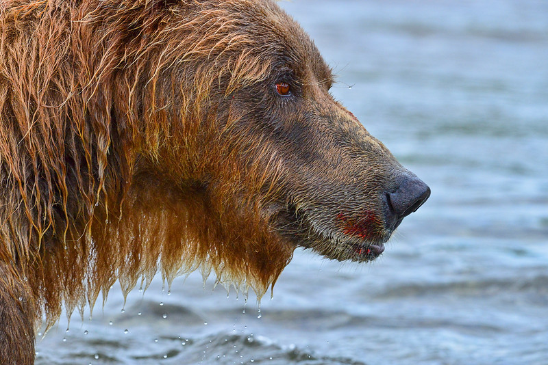 "Large brown bear with telltale signs of salmon on his mouth......................................to purchase - <a href=""http://bit.ly/1vYgREV"">http://bit.ly/1vYgREV</a>"