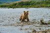 "brown bear cub following mother up stream...................to purchase - <a href=""http://bit.ly/1BafVgR"">http://bit.ly/1BafVgR</a>"