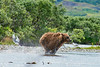 "mother brwon bear cub going full out after salmon..........................to purchase - <a href=""http://bit.ly/1vKosqE"">http://bit.ly/1vKosqE</a>"