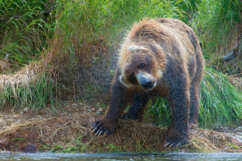 """Brown bear shaking water off a unsucessful salmon dive................................to purchase - <a href=""""http://bit.ly/VQc6xt"""">http://bit.ly/VQc6xt</a>"""