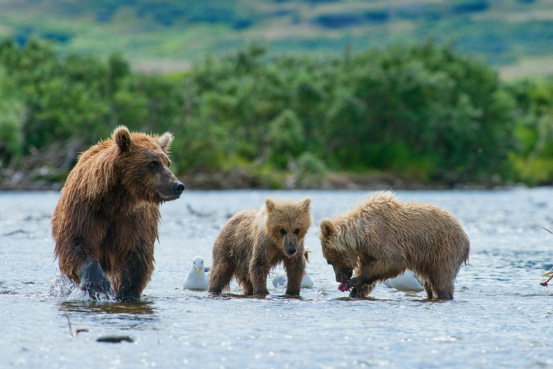 "mother brown bear with cubs looking for salmon....................to purchase - <a href=""http://bit.ly/Y9xRdJ"">http://bit.ly/Y9xRdJ</a>"