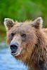 "brwon bear portrait......................to purchase - <a href=""http://bit.ly/1sXUYRj"">http://bit.ly/1sXUYRj</a>"