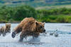"mother brown bear chasing salmon for food for her cubs.........................to purchase = <a href=""http://bit.ly/1uve16A"">http://bit.ly/1uve16A</a>"