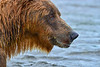 "close up of brown bear showing salmon red on fur....................to purchase - <a href=""http://bit.ly/Z68AkD"">http://bit.ly/Z68AkD</a>"
