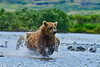 """chasing the salmon up the stream.......................to purchase - <a href=""""http://bit.ly/W87EdJ"""">http://bit.ly/W87EdJ</a>"""