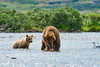"mother brown bear eating salmon before giving to bear cubs..............................to purchase - <a href=""http://bit.ly/1w3Kdit"">http://bit.ly/1w3Kdit</a>"