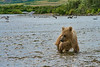 "Brown bear cub looking at salmon in water.............................to purchase - <a href=""http://bit.ly/1oAUTPG"">http://bit.ly/1oAUTPG</a>"