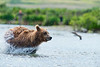 "brown bear mother flying through water after salmon.....................................to purchase - <a href=""http://bit.ly/1rLn5Ht"">http://bit.ly/1rLn5Ht</a>"