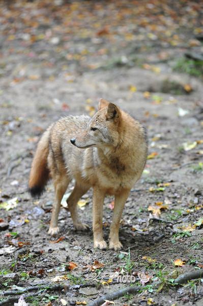Coyote...........................................Prints or digital files can be purchased by e mailing DFriend150@gmail.com