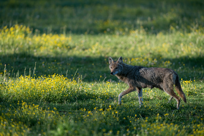 Female coyote in field with horses