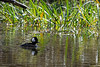 Hooded merganser swiiming front of reeds