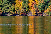 Flock of Hooded merganser swimming on lake in Fall