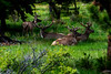 Four elk laying down in the grass