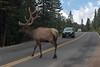 Elk crossing the road
