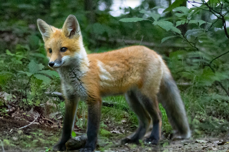 Young red fox looking to play