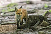 Red fox kit behind a stump
