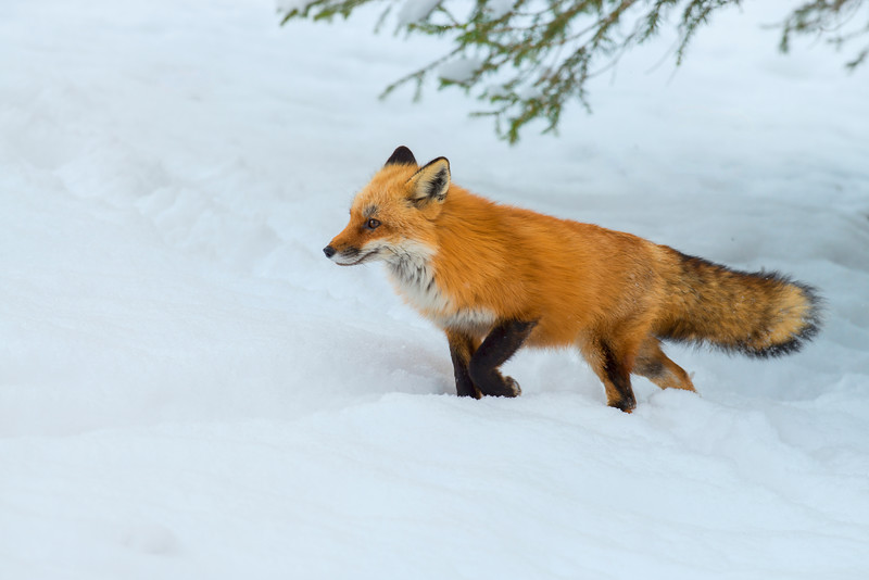 Red fox walking through the snow...................................to purchase print or digital file e mail DFriend150@gmail.com