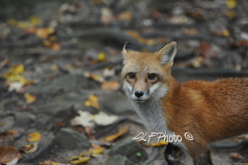 Red fox..............................................................Prints or digital files can be purchased by e mailing DFriend150@gmail.com