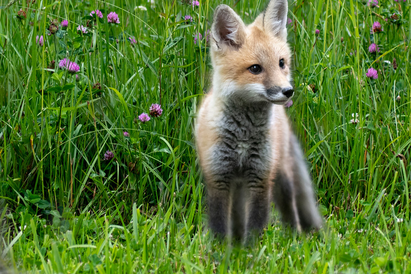 Little red fox kit in the field