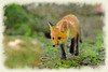 Paintography a stalking red fox
