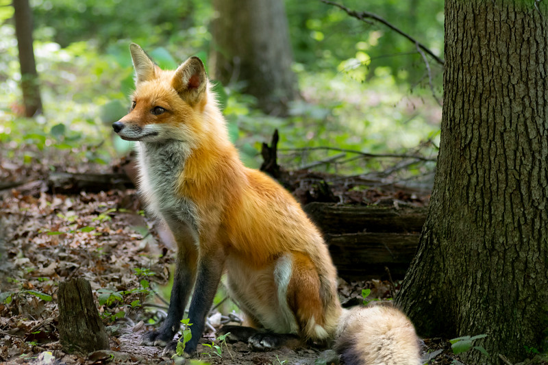 Adult red fox sitting