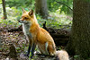 Adult red fox sitting