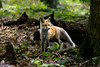 Red fox kit in the woods