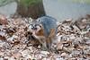 Gray fox yawning