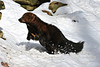 fisher jumping in snow ................Prints or digital files can be purchased by e mailing DFriend150@gmail.com